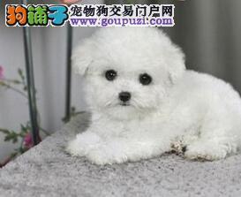 石家庄犬舍出售巨型贵宾犬 上门选购均可见狗父母