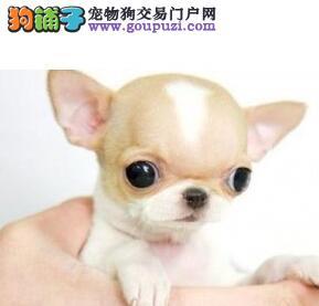 聪明温顺的小体吉娃娃幼犬找新家 呼和浩特免费送上门