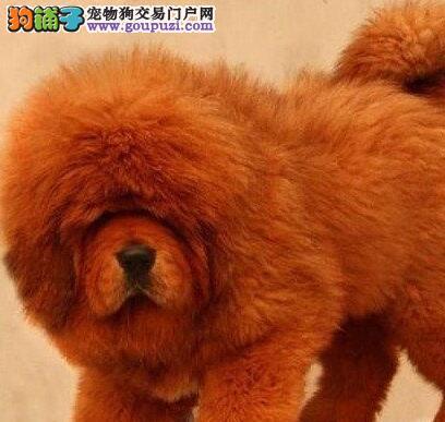 精品西安藏獒现优惠出售 名獒血统毛量丰厚