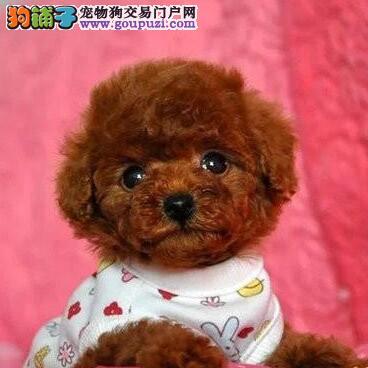 出售纯种韩国小体厦门泰迪犬 疫苗驱虫已定期做好