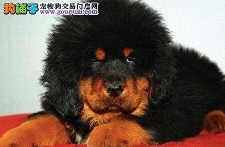 出售长毛狮头 嘴粗短方 精品藏獒幼犬的极品