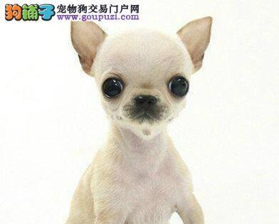 杭州专业繁殖基地出售超小体吉娃娃 黄色黑色均有