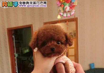 宜宾出售极品泰迪犬幼犬完美品相喜欢加微信可签署协议