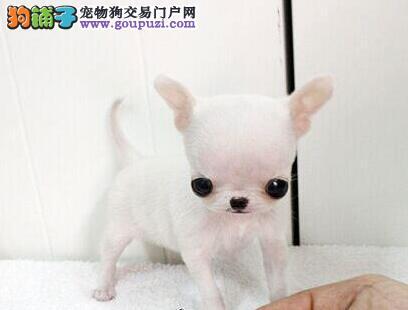 超小体苹果头的吉娃娃幼犬找新主人 杭州市内可送货哦