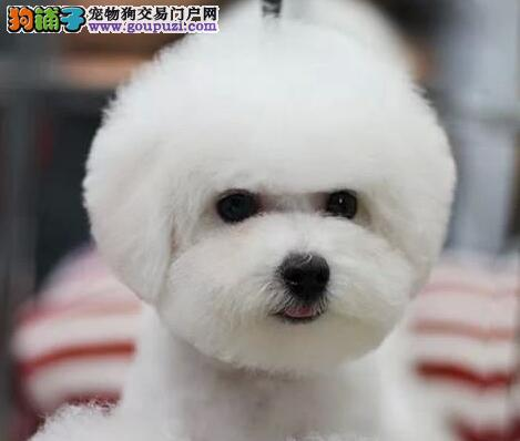 杭州实体犬舍出售卷毛雪白的比熊犬 我们承诺售后三包