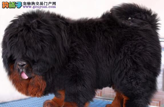 出售多种颜色上饶纯种藏獒幼犬终身完善售后服务