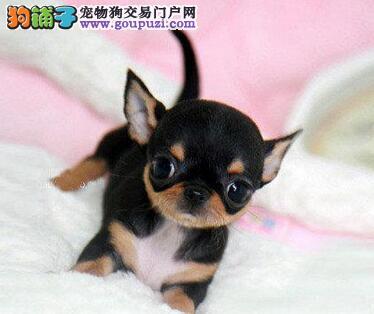 出售吉娃娃幼犬品质好有保障期待您的咨询
