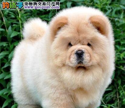 出售紫舌优秀松狮犬 大嘴可爱深圳附近地区可送到家