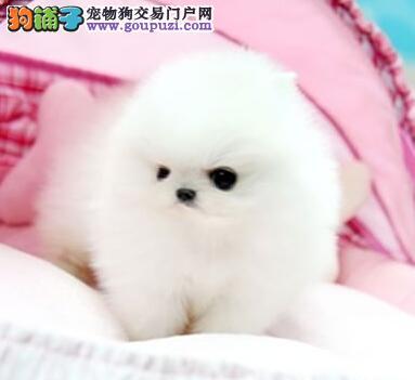上海家养纯种白博美幼犬 2个月可爱活泼