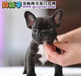 出售纯种健康的重庆法国斗牛犬幼犬品质血统售后均有保障