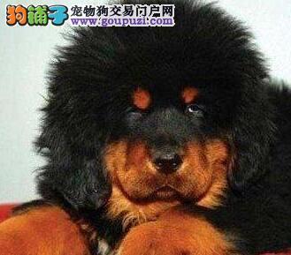 自家狗场繁殖直销藏獒幼犬办理血统证书