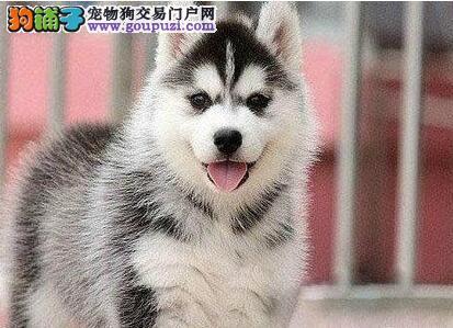天津犬舍出售纯种哈士奇购买可办理血统证书