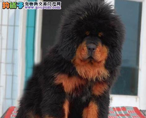 预售极品优秀原生态藏獒 深圳附近地区可送狗到家