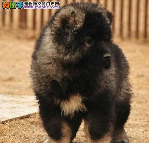 异常凶猛的南昌高加索犬优惠出售中 狗贩子请勿骚扰