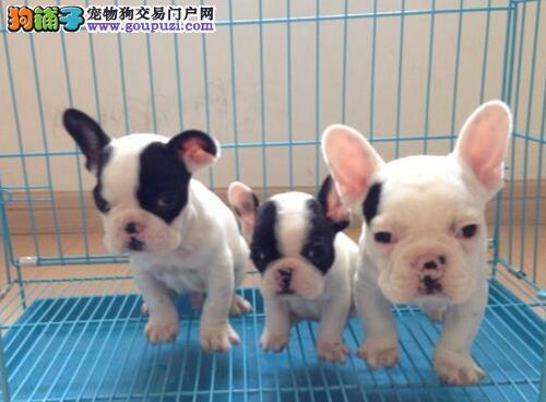 泉州正规犬舍直销出售多只优秀斗牛犬 价格美丽可预订
