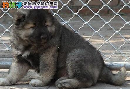 顶级巨型熊版高加索幼犬低价出售中 呼和浩特市内送货
