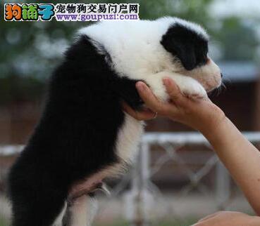 岳阳出售边境牧羊犬公母都有品质一流冠军级血统品质保障