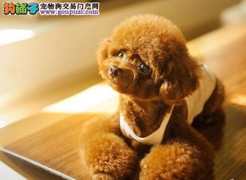 极品纯正的武汉泰迪犬幼犬热销中签正规合同请放心购买