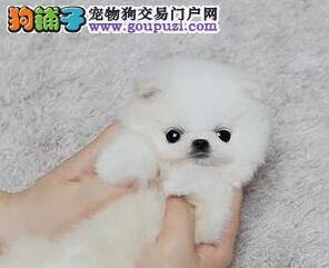 出售高品质博美犬 纯正血统完善服务 签署合同质保