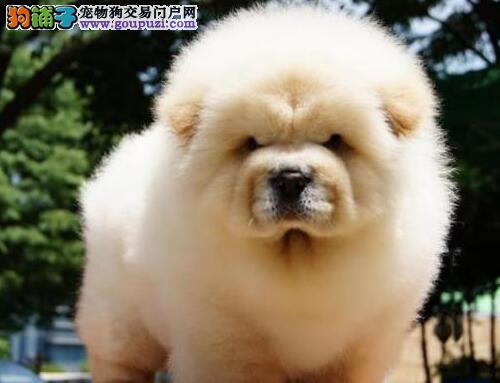 广州在哪有松狮犬买 在广州哪买狗狗比较好名豪