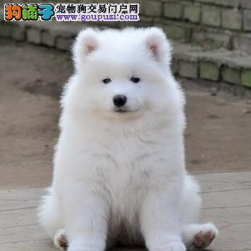 犬舍出售纯种平顶山萨摩耶犬聪明伶俐健康