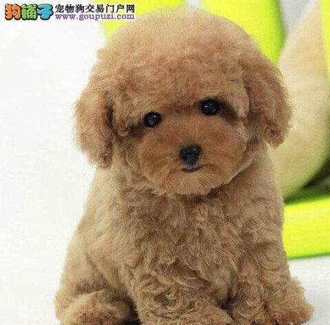 东莞出售精品韩系引进苹果脸大眼睛的泰迪犬 终身售后