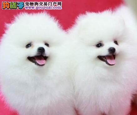 转让极品优秀哈多利版博美犬 郑州市内可免费送狗