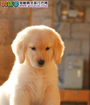 上海狗场热销大骨架金毛犬 所有犬只均保证纯种健康