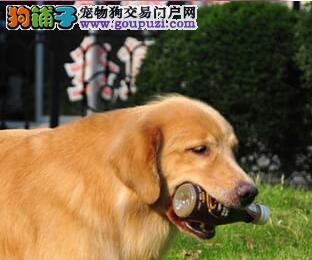 精品大头西安金毛幼犬找新主人 保证健康和纯种