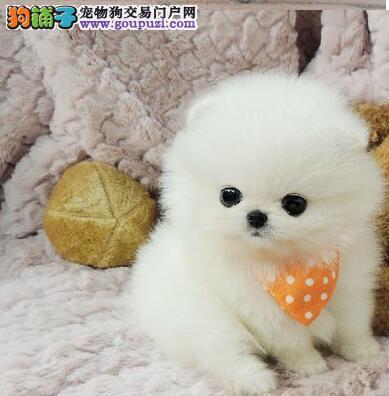 上海热卖博美犬多只挑选视频看狗喜欢它的快来