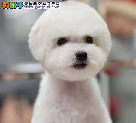 雪白干净血统比熊犬武汉出售 适合女孩养 不掉毛的狗狗