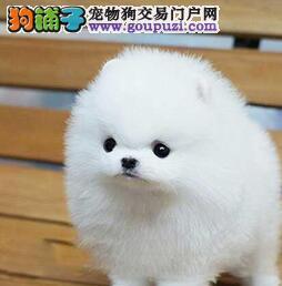 自家繁殖多只开封博美犬优惠促销保证纯种售后保证