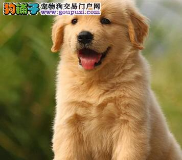 热销纯种大骨架上海金毛犬 毛量多颜色亮丽品质高