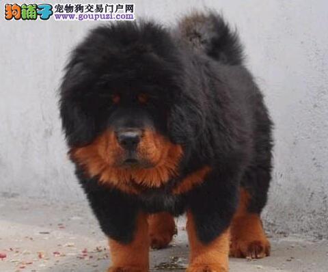 高品质藏獒幼犬,国际血统品质保障,微信咨询看狗