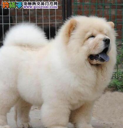 憨厚可爱的松狮宝宝 松狮幼犬 松狮狗狗便宜卖啦