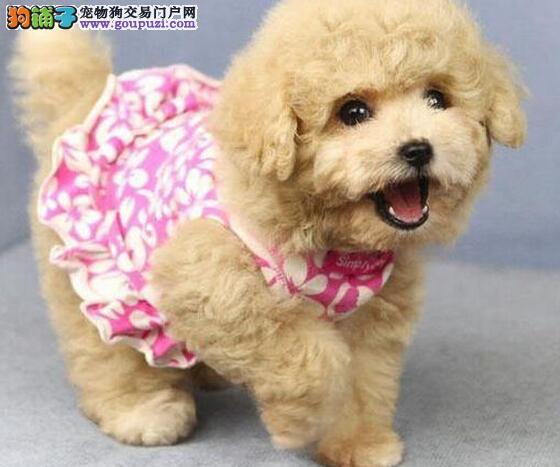 合肥哪里出售纯种泰迪熊幼犬,纯种健康 ,欢迎上门选