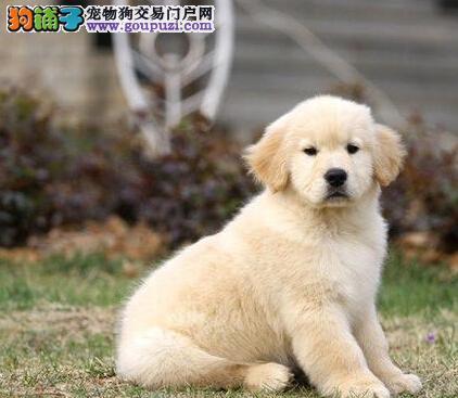 赛级金毛幼犬,注射芯片颁发证书,签署合同质保