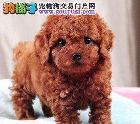 特价出售优秀韩系泰迪犬 南昌附近免运费支持全国空运