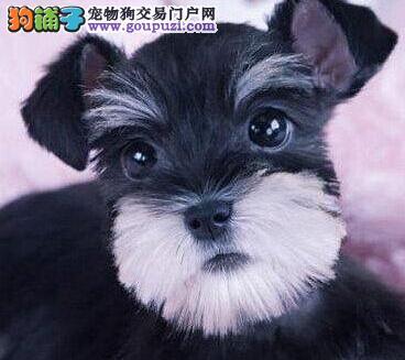正规狗舍促销极品金华雪纳瑞小老头白胡子血缘清楚