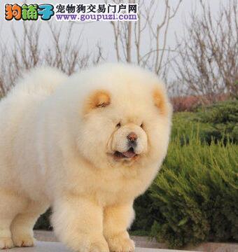 家养肉呼呼紫舌沧州松狮犬出售面包嘴老实