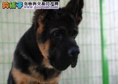 重庆实体店出售精品德国牧羊犬保健康爱狗人士优先狗贩勿扰