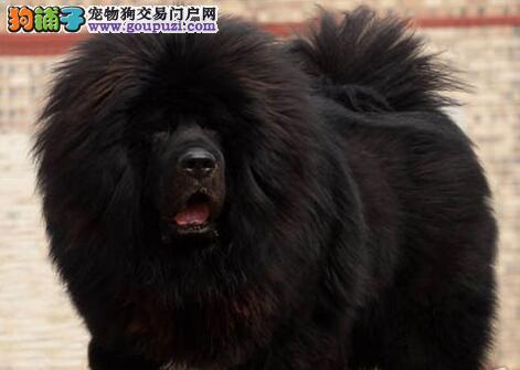 出售赛级藏獒,CKU认证品质,购犬可签协议
