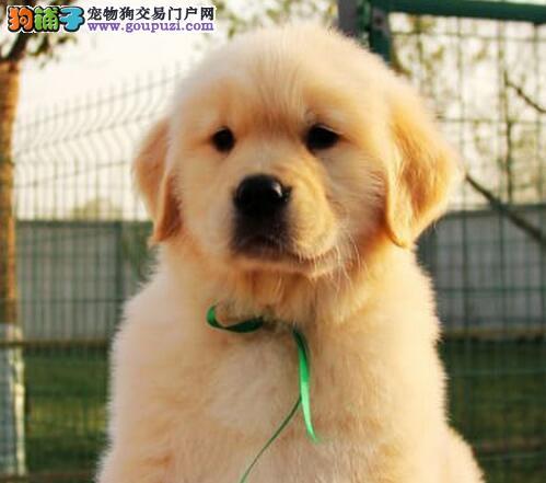 专业精心繁殖的天津可爱金毛小宝宝正在热销 欢迎选购