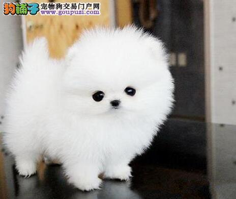 出售纯种哈多利版博美犬 有意者可来北京犬舍考察看狗