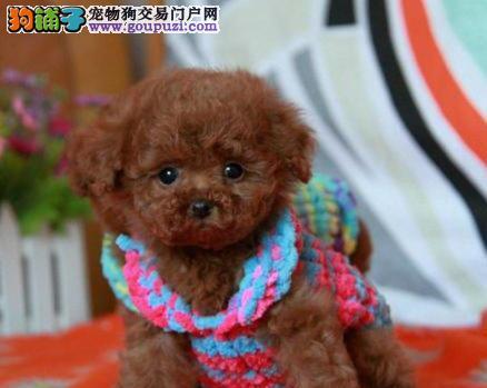 赛级品质韩系贵宾犬北京地区特价出售 多只购买可优惠