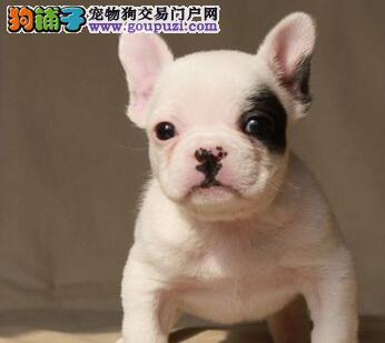 出售桂林法国斗牛犬健康养殖疫苗齐全金牌店铺有保障