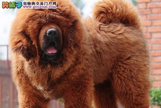 苏州实体獒园出售大狮子头的藏獒幼崽 请大家放心选购