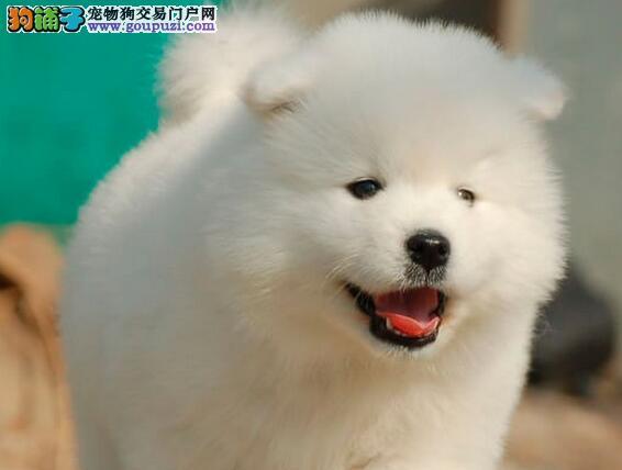 纯种萨摩犬 雪白的毛 天使般的微笑 品相好 聪明