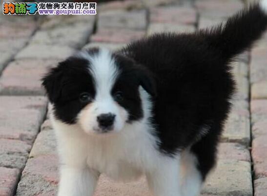 武汉精品高品质边境牧羊犬幼犬热卖中国外引进假一赔百