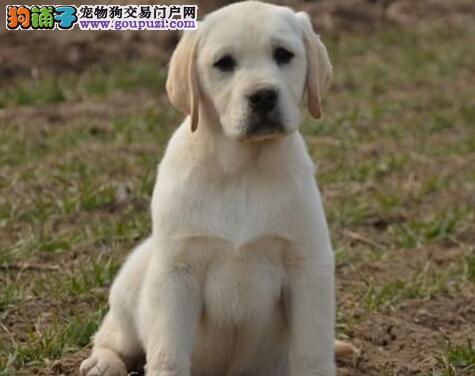 血统纯品相好的苏州拉布拉多犬找新家 可视频看种犬